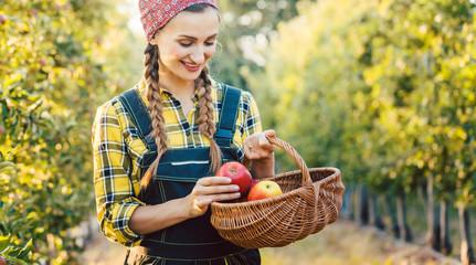 Obstbäuerin erntet Apfel in einen Korb