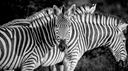 A zebra, Equus quagga, alert, zebra in background, ears forward, in black and white.