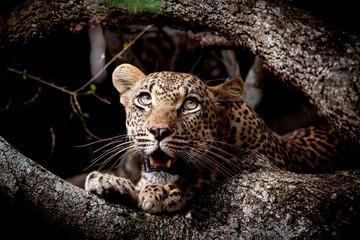 Close up of leopard sitting in Sabi Sands Game Reserve