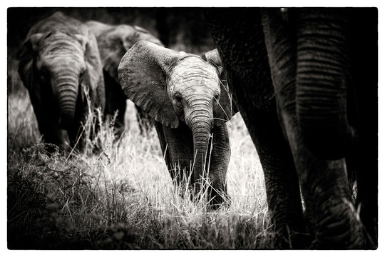 An elephant calf, Loxodonta africana, follows its mother through grass, alert, elephants in the background, in black and white.