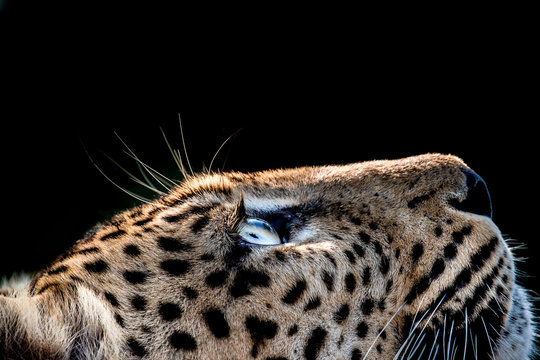 A side-profile of a leopard's head, Panthera pardus, looking up into the light, glow on eyes, coat and whiskers, black background.