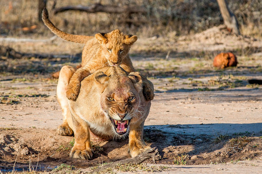 Lion cub sitting on back of lioness
