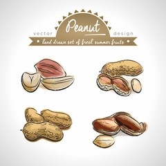 Peanut Collection of fresh fruits with leaf. Vector illustration. Isolated