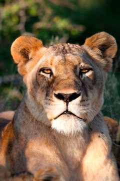The head of a lioness, Panthera leo, lying down, alert, ears forward