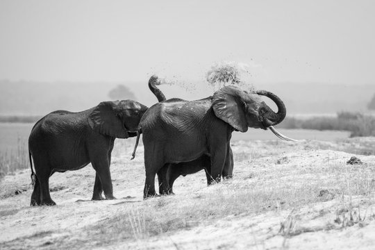 A herd of elephant, Loxodonta africana, stand on the bank of a river, spray sand over their back with their trunks, in black and white