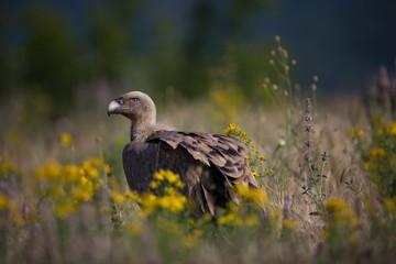 Gyps fulvus. The wild nature of Bulgaria. Free nature. A beautiful picture of nature. Rhodopes. Big bird. Mountains in Bulgaria. European wildlife.