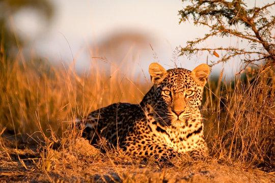 Portrait of leopard sitting on landscape in Sabi Sands Game Reserve