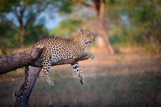 Leopard lying on broken tree branch