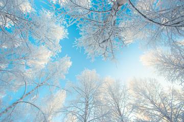 Snowy birch forest view from Sotkamo, Finland.