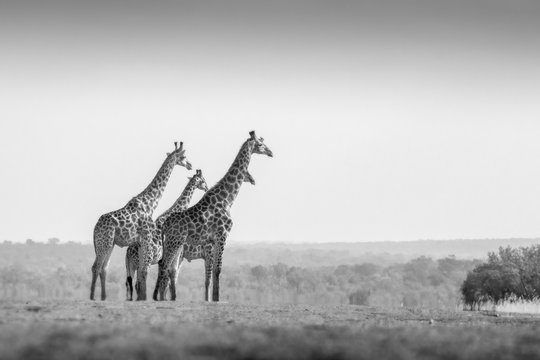 Four animals, Giraffa camelopardalis, stand in an open clearing, clear sky, black and white image.