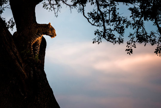 Leopard standing in fork of tree during sunset