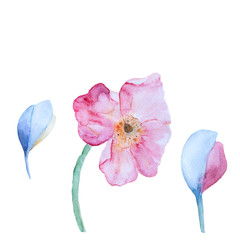 Hand drawn watercolor poppies