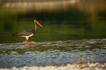 Ciconia nigra. The wild nature of Bulgaria. Free nature. A beautiful picture of nature. Rhodopes. Big bird. Mountains in Bulgaria. European wildlife. Madzarovo. River Arda.