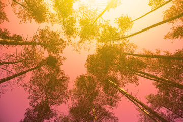 Vintage frame from trees at sunset in spring. Pine forest in evening. Perspective view. Pine trees against purple sky with sun