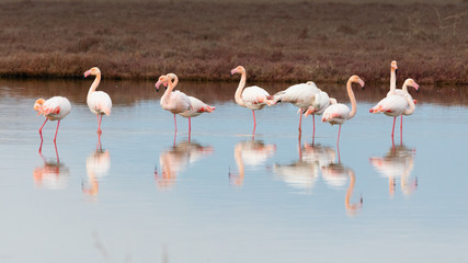 Group of greater pink flamingos and their reflections in Ptelea lake, Rodopi, Greece
