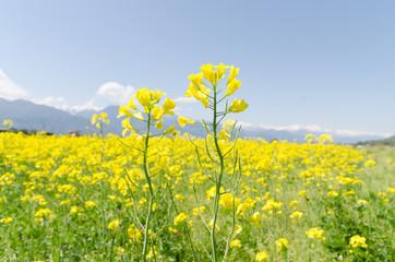 安曇野の菜の花畑