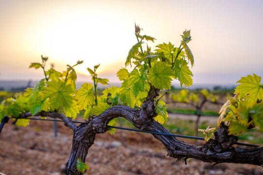 Branche de vigne au printemps gros plan. Lever de soleil.