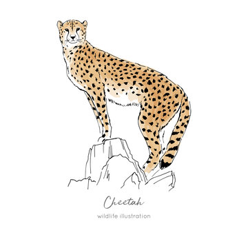Vector illustration of cheetah standing on dry tree. Hand drawn ink realistic coloured sketching isolated on white. Perfect for logo branding t-shirt coloring book design.