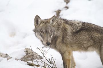 Deurstickers Wolf parco nazionale d'abruzzo