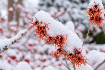 Schneebedeckte Blüten von Hamamelis x intermedia 'Rot Bruns'