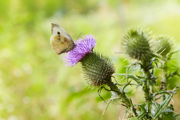 Cirsium vulgare, Spear thistle, Bull thistle, Common thistle, short lived thistle plant with spine tipped winged stems and leaves, pink purple flower head with a butterfly on it