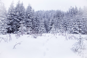 Snowy fir trees in winter forest background