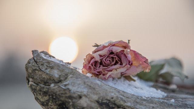 Verblühte Rose im Winter Stillleben