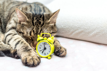 cat is sleeping in an embrace with an alarm clock. Concept good morning
