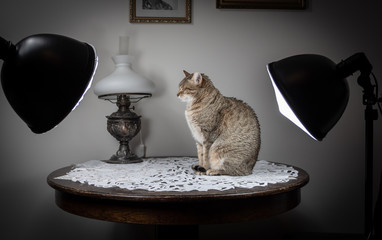 Cat portrait in home photo atelier studio