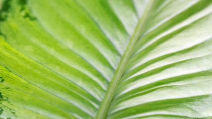 Dumb cane leaf background