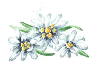 Edelweiss flowers (Leontopodium alpinum), Watercolor hand drawn illustration isolated on white background