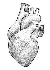 Human heart illustration, drawing, engraving, ink, line art, vector