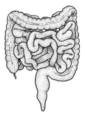 Intestine illustration, drawing, engraving, ink, line art, vector