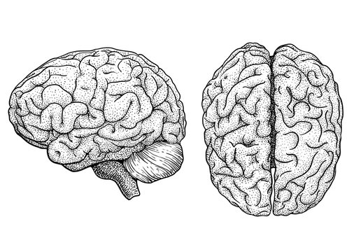 Brain illustration, drawing, engraving, ink, line art, vector