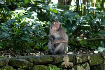 Balinese monkeys 5