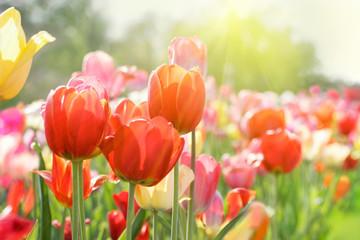 Fotoväggar - tulpenblüte in hellem licht, highkey