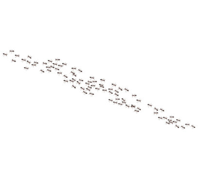 Argentine ants crawl in a line