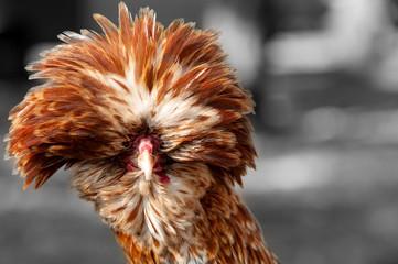 rooster decorative portrait