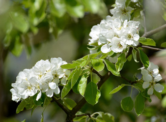 Flowers of pear ordinary (Pyrus communis L.), close up