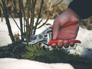 pruning roses like a pro - diy