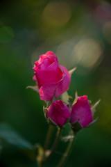 FLOWERS: rose on green