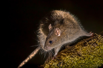 Wild Brown rat at night