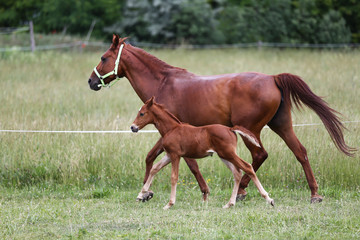 Purebred mare and her few weeks old filly galloping in summer flowering pasture idyllic picture
