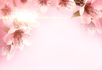 Fototapete - Cherry flower.Pink cherry as background.Spring Cherry blossoms in full bloom.