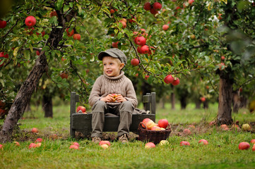 Little, five years old, boy helping with gathering and harvesting apples from apple tree, autumn time.  Child picking apples on farm in autumn.