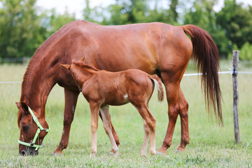 Beautiful mare and foal grazing together on summer meadow of flowers