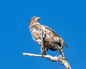Fototapete - Immature bald eagle perched on a branch