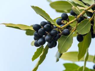 Branch of an olive tree with black olives
