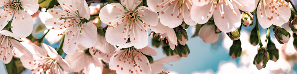 Background of beautiful white cherry blossom. Buds open Fototapete