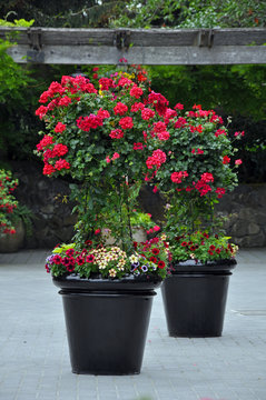 Two black flower planters filled with red geraniums on patio